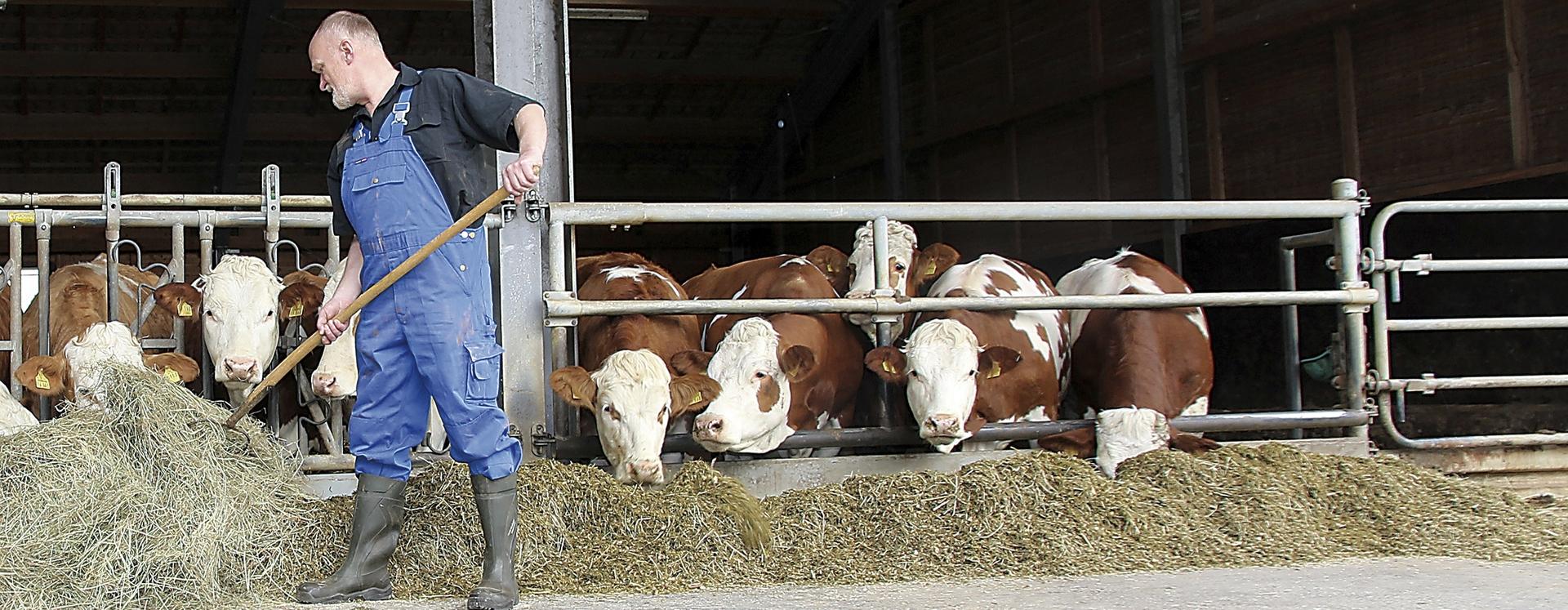 Landwirt beim Füttern der Kühe