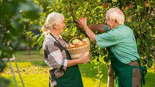 Senioren beim Äpfel pflücken