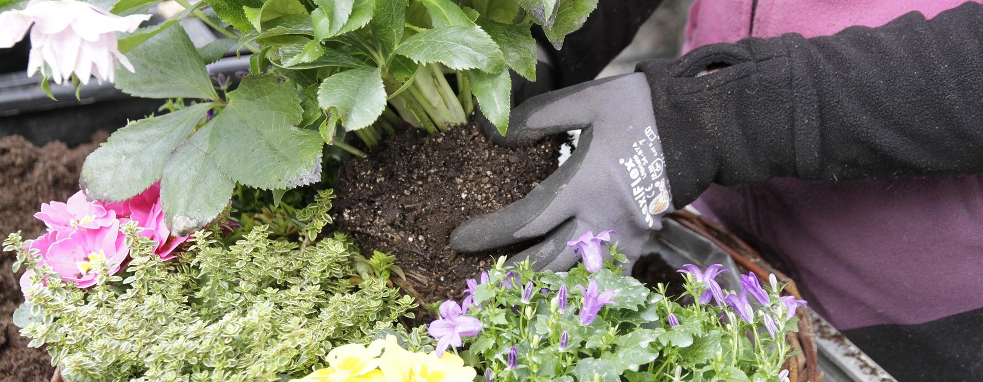 Blumen werden in einen Korb gepflanzt; die Hände sind durch Handschuhe geschützt